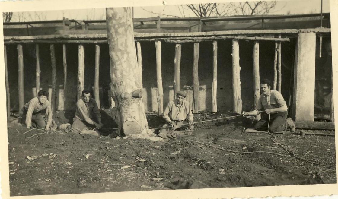 29 arachages platannes arenes en 1955